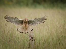 Falke im Landeanflug: Falcon-Karten